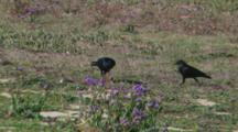 Crows Eating Dead Gopher, Carcass Birds Of Prey