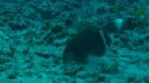 Rockmover Wrasse Digging Around And Moving Rocks To Look For Food.