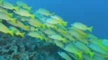 Blue Striped Snapper Traveling Around Reef