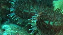 Close Up Spines And Tube Feet Of A Crown-Of-Thorns Sea Star
