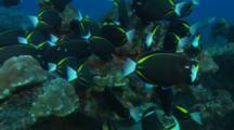 A School Of Gold Rim Surgeonfish / White Cheek Surgeonfish (Acanthurus Nigricans) Feeding On The Algae On The Rocks Off Cocos Island, Costa Rica.