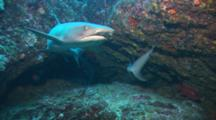 Whitetip Reef Sharks And Bigscale Soldierfish Swim In And Out Of Crevice In Rocky Reef