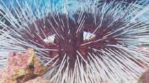 Sea Urchins On Rocky Bottom, Cocos Island, Costa Rica.