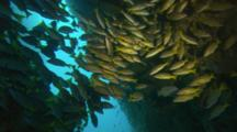 A Large School Of Blue-And-Gold Snapper Swimming In Cave Or Crevice Off Cocos Island, Costa Rica.