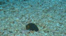 A Panamanian Jawfish Burrowed In Sandy Bottom, Catching Small Crustaceans And Fish.