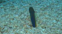 A Panamanian Jawfish Burrowed In Sandy Bottom, Swims Up To Catch Small Prey