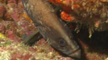 Soapfish Being Cleaned By A Goby.