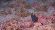 Blue Spotted Jawfish Leaving Its Burrow Briefly To Eat