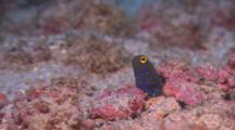 Blue Spotted Jawfish Sticks Out Of Burrow