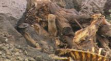 Mongoose Hiding Near Pig Carcass