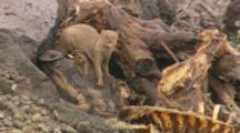 Mongoose Emerges From Tree Root Near Pig Carcass
