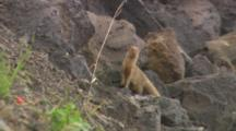 Lock-Off Of A Mongoose Standing In Front Of A Pile Of Rocks.