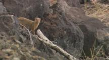 Mongoose Standing Behind A Birch Branch Then Running Away.