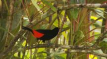 Male Scariet-Rumped Tanager Hopping Branches. (Ramphocelus Sp.)