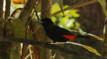 Male Scarlet-Rumped Tanager Jumping Around Branches (Ramphocelus Sp.)