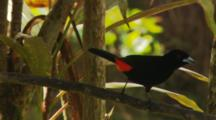 Camera Follows Male Scariet-Rumped Tanager Walking Along One Branch And Hopping To Another (Ramphocelus Sp.)