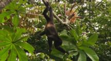 (Alouatta Palliata) Mantled Howler Monkey Eating Leaves Off Tree