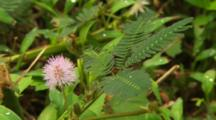 Lavandar Flower \.  Mimosa Plant Reacting To Breeze.