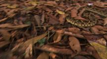 Fer De Lance Snake (Bothrops Atrox) Quickly Slithering Along Brown Leaf Floor Cover.