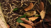 Fer De Lance Snake (Bothrops Atrox) Resting At Base Of Large Tree