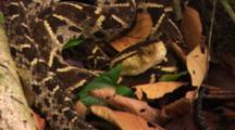Fer De Lance Snake (Bothrops Atrox) Resting At Base Of Large Tree