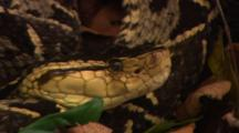 Close Up Of Head Of Fer De Lance Snake (Bothrops Atrox) Then Zoom Out.