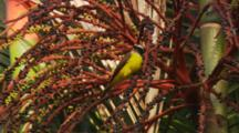 Yellow Flycatcher Jumping Around Bright Red Seed Branches.  Eating Seeds
