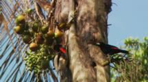 Passerini'S Tanager Or Scarlet Rumped Tanager Eating From Seeds