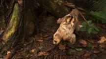 Three-Toed Sloth Defecates At Base Of Tree, Then Climbs Back Up