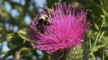 Vibrant Pink Bull Thistle (Cirsium Vulgare) Flower With Bumble Bee (Bombus Sp.) Pollinating.