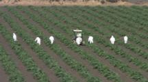 Field Workers In White Uniforms Spraying Insecticids On Rows Of Artichoke Plants Near Monterey, California.