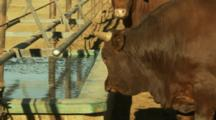 Large Brown Cow Near A Watering Trough In A Pen At A Large Stockyard Near Lovelock, Nevada.