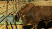 Two Large Brown Cows Drinking From A Watering Trough At A Stockyard Near Lovelock, Nevada.
