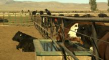 A Line Of Cattle Along A Fence And Watering Trough At A Stockyard Near Lovelock, Nevada.