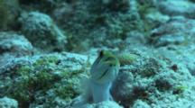 Yellow Headed Jawfish Male With Eggs In His Mouth.