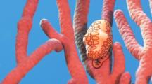 Close Up Of A Flamingo Tongue Snail On A Piece Of Rope Sponge