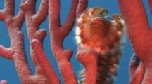 Bristle Worm On Rope Sponge In Clear Water.