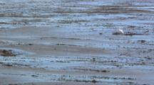 Lock-Off Shot Of Great Egret Standing In Water