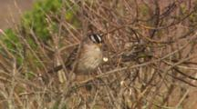 White-Crowned Sparrow Perched On Branches Blowing In The Wind.