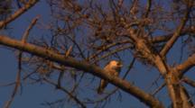 Peregrine Falcon Eating Pigeon Prey In Tree