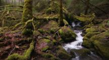 Stream Running Through Montgomery Woods State Reserve, Through Trees And Over Mossy Rocks.