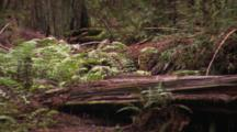 Zoom Out From Fallen Redwood Log To Forest Floor