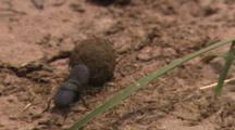 Hand Held Shot Of Two Dung Beetles Rolling A Ball Of Dung Down A Rock