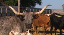 Longhorn Cattle On A Farm.