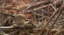 Close Up Of Lizard In Tumbleweed In Utah Desert.