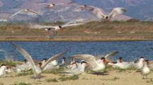 Caspian Terns Nesting On Shore In Monterey, Mates Bringing Food. Sitting In Brush And Sand, Hills In Background Across The Water.