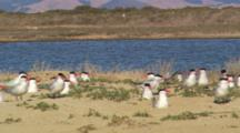Caspian Terns Nesting On Shore In Monterey, Waiting For Food From Mates. Sitting In Brush And Sand, Hills In Background Across The Water.