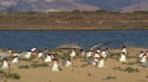 Caspian Terns Nesting On Shore In Monterey, Squawking For Food From Mates. Sitting In Brush And Sand, Hills In Background Across The Water.