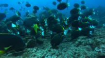 Whitecheek Surgeonfish Grazing On The Rocky Reef