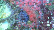 Strawberry Anemone (Corynactis Californica) And An Purple Sea Urchin (Strongylocentrotus Purpuratus)On A Rocky Reef